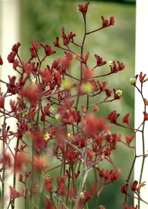 Red Kangaroo Paws flowers