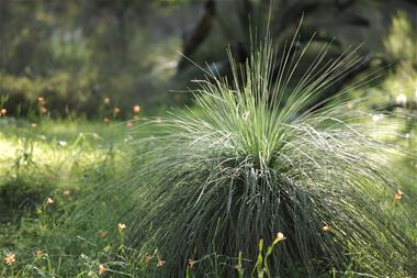 Grass tree in Natural Burial Area Pinnaroo