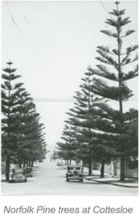 Norfolk Pine trees at Cottesloe