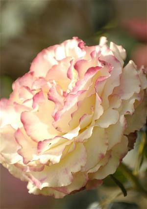 White and pink rose detail